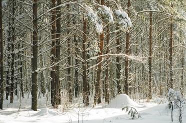 snowyforest-image1